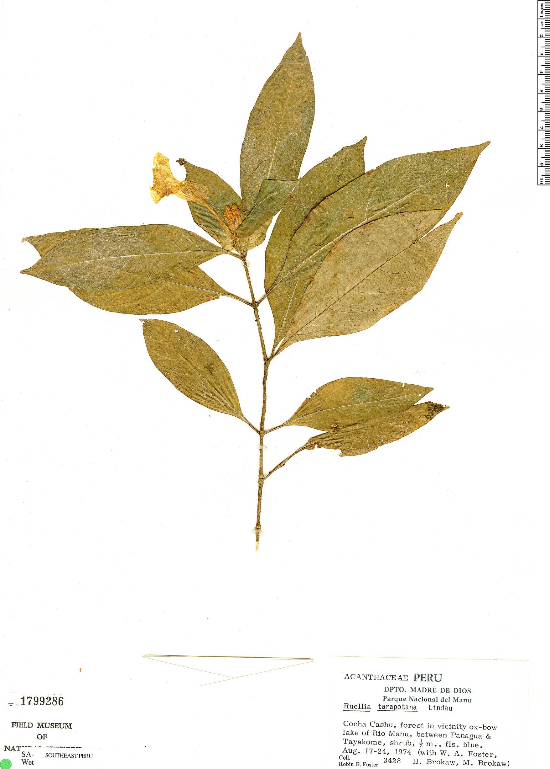 Specimen: Ruellia tarapotana