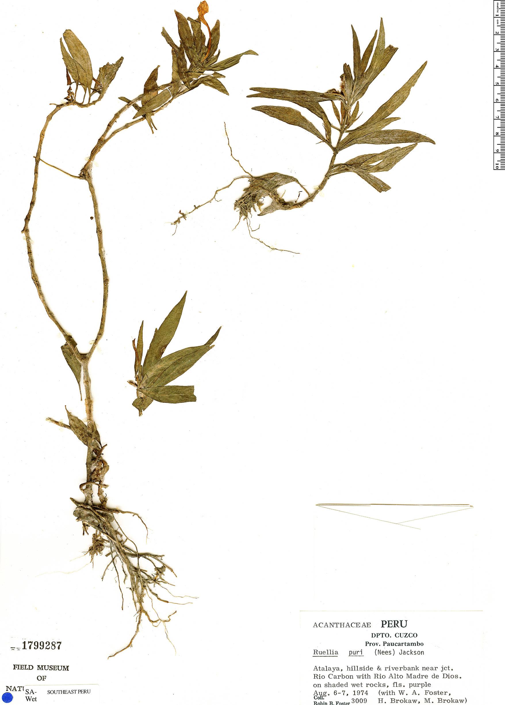 Specimen: Ruellia jussieuoides