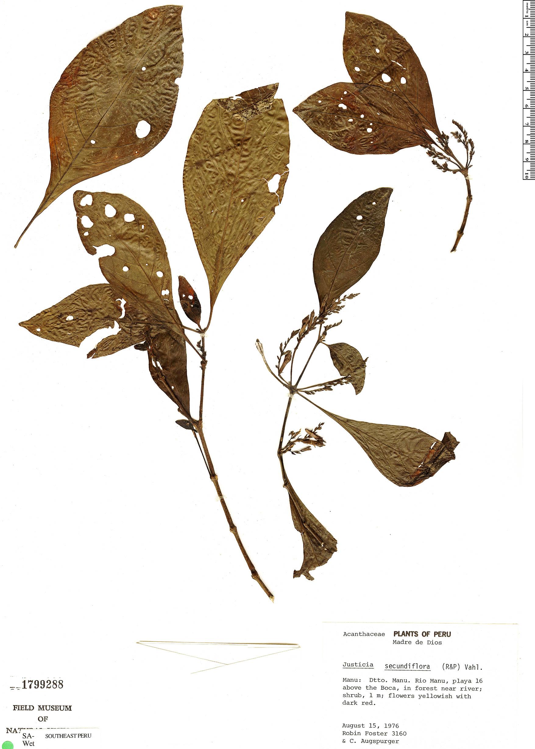 Specimen: Justicia secundiflora