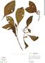 Justicia secundiflora (Ruíz & Pav.) M. Vahl, Peru, R. B. Foster 3160, F