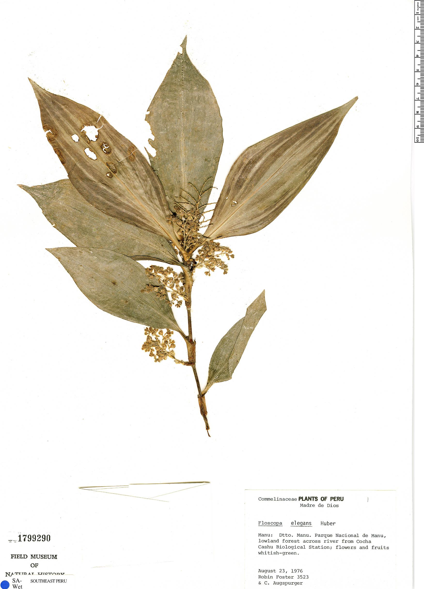 Specimen: Floscopa elegans