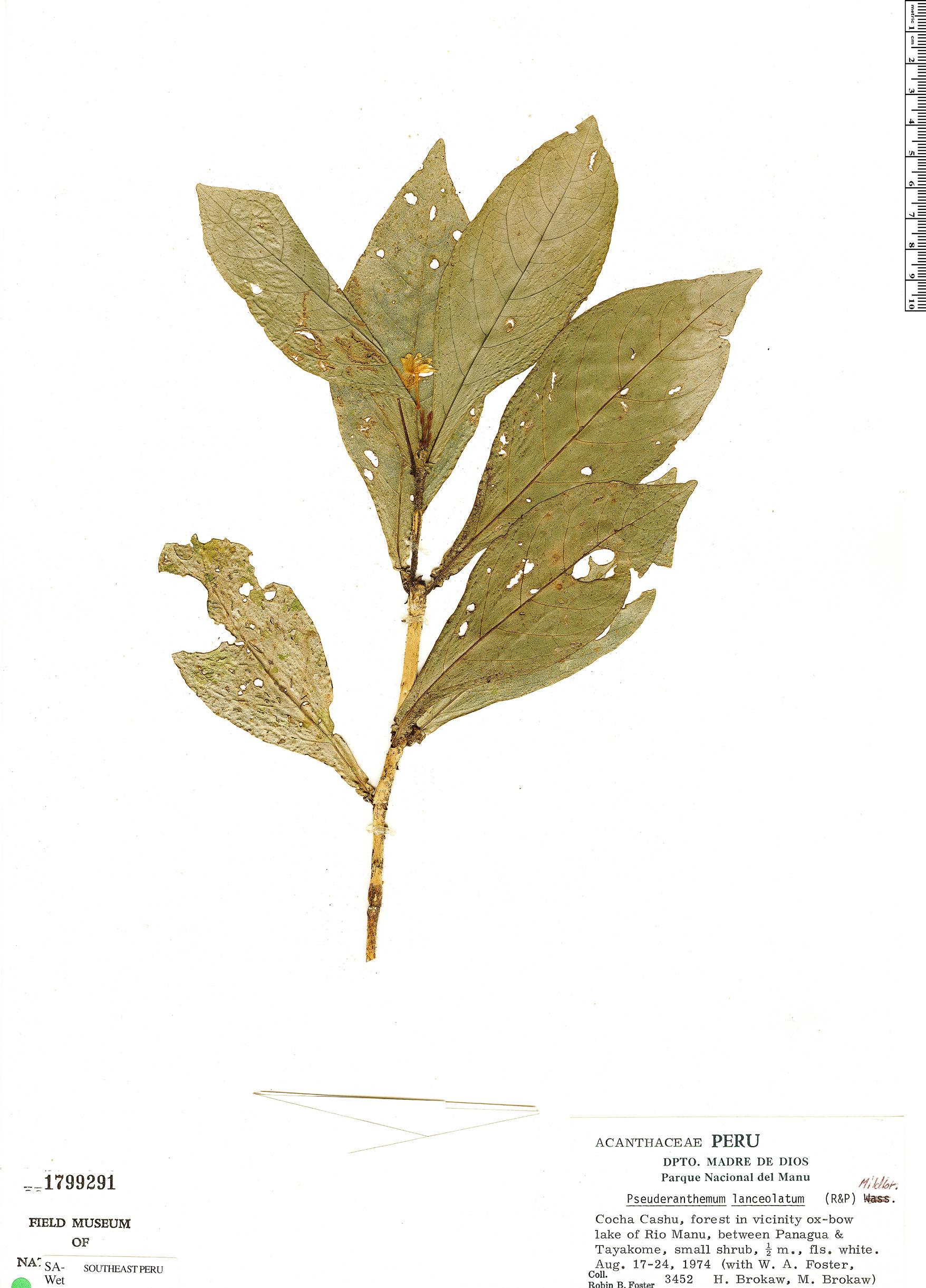 Specimen: Pseuderanthemum lanceolatum