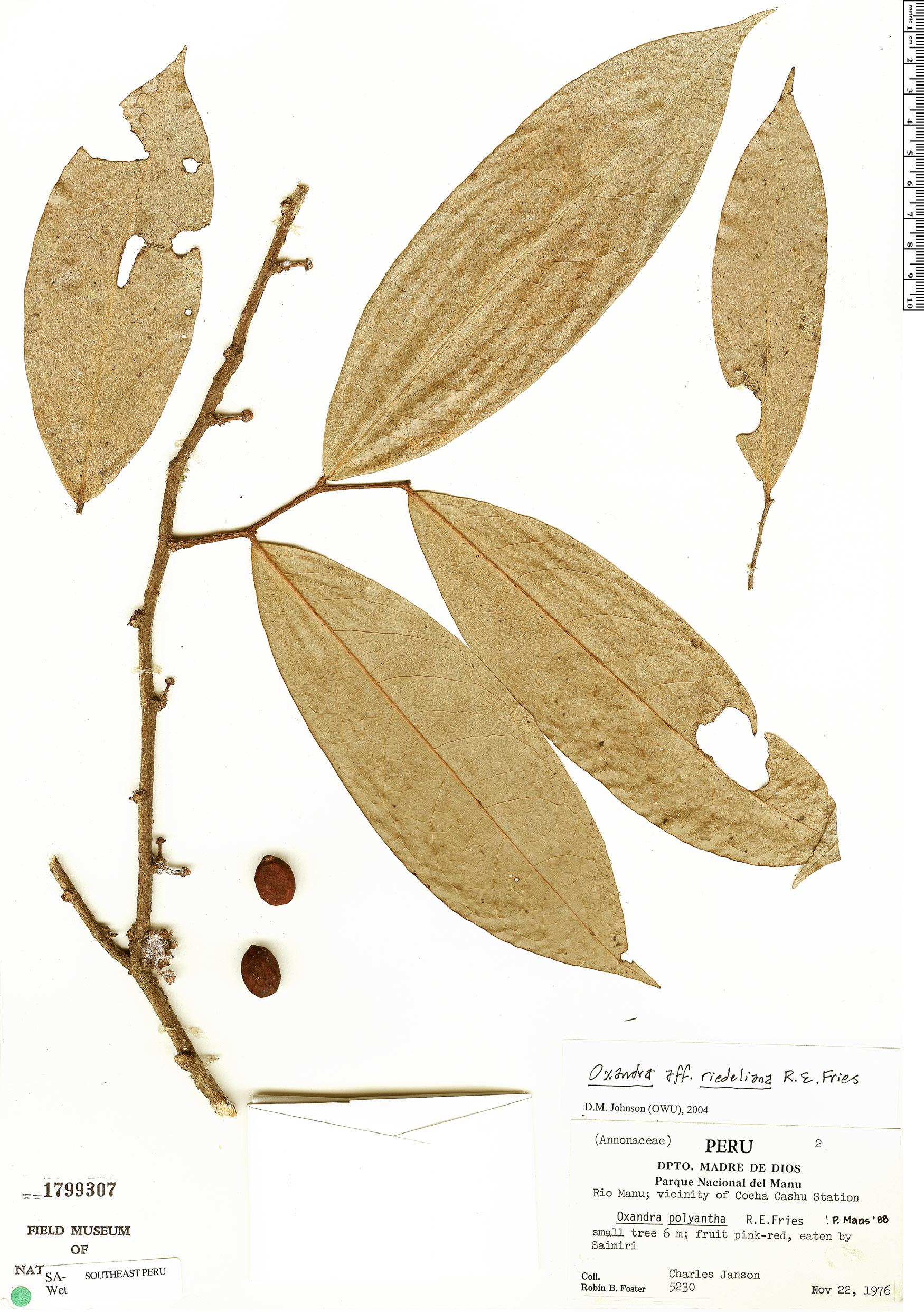 Specimen: Oxandra polyantha