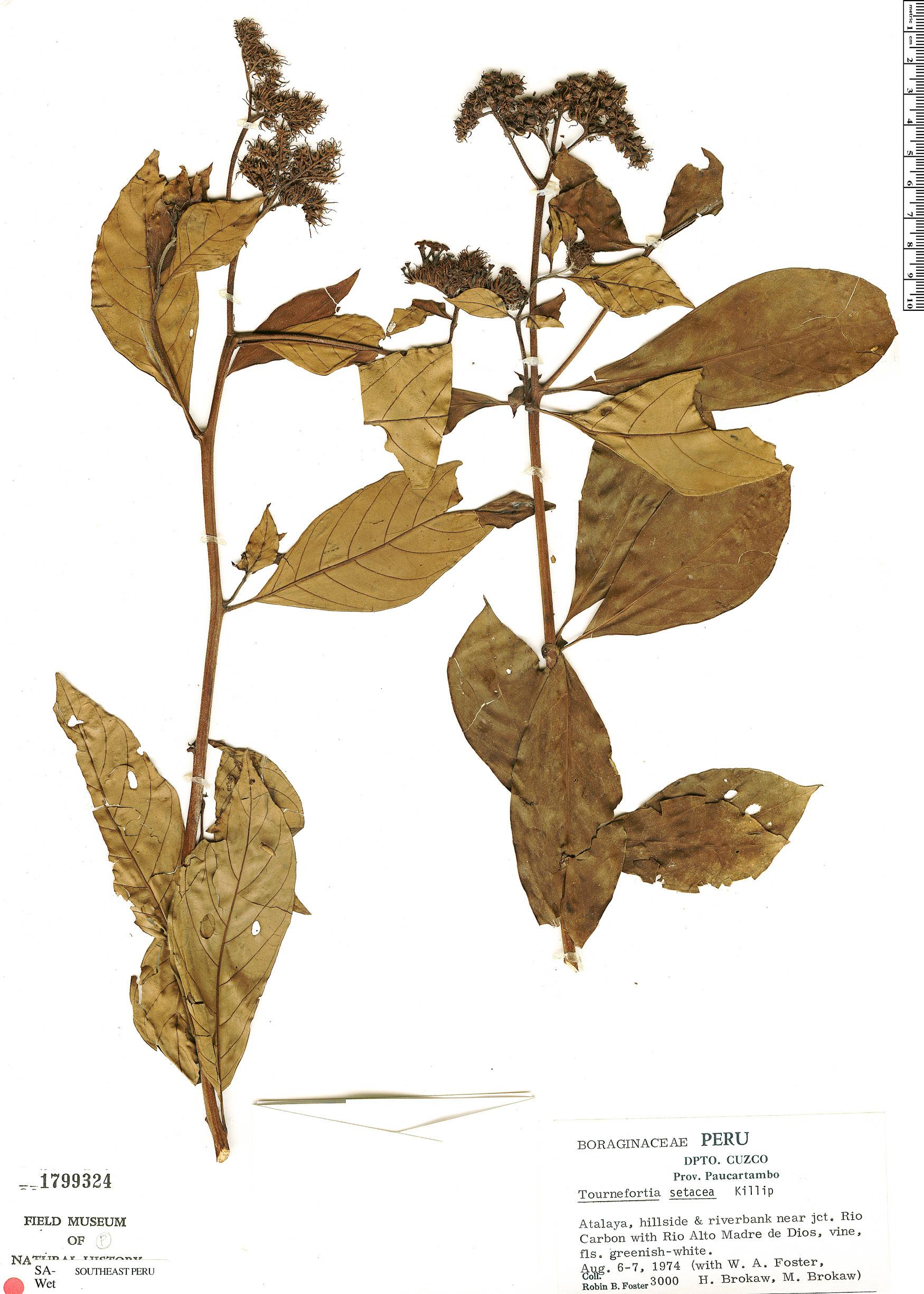 Espécime: Tournefortia setacea