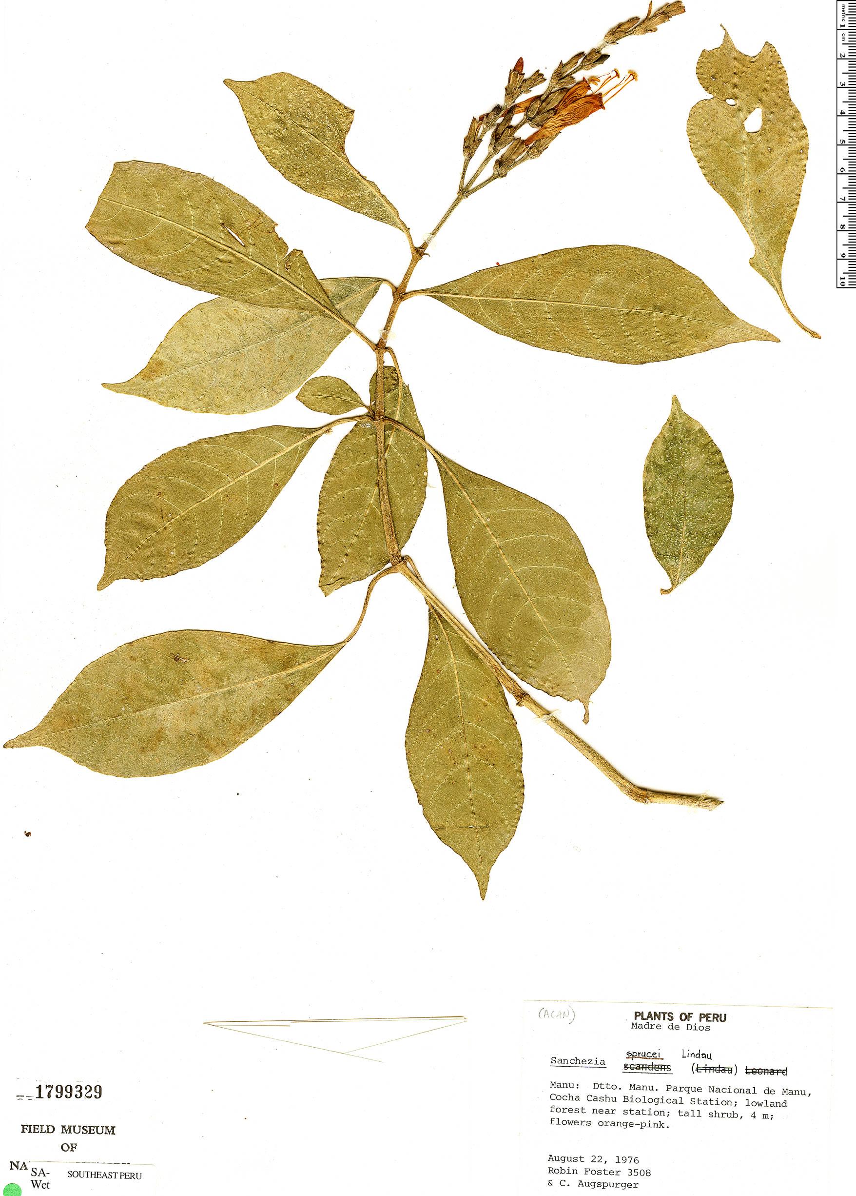 Specimen: Sanchezia sprucei