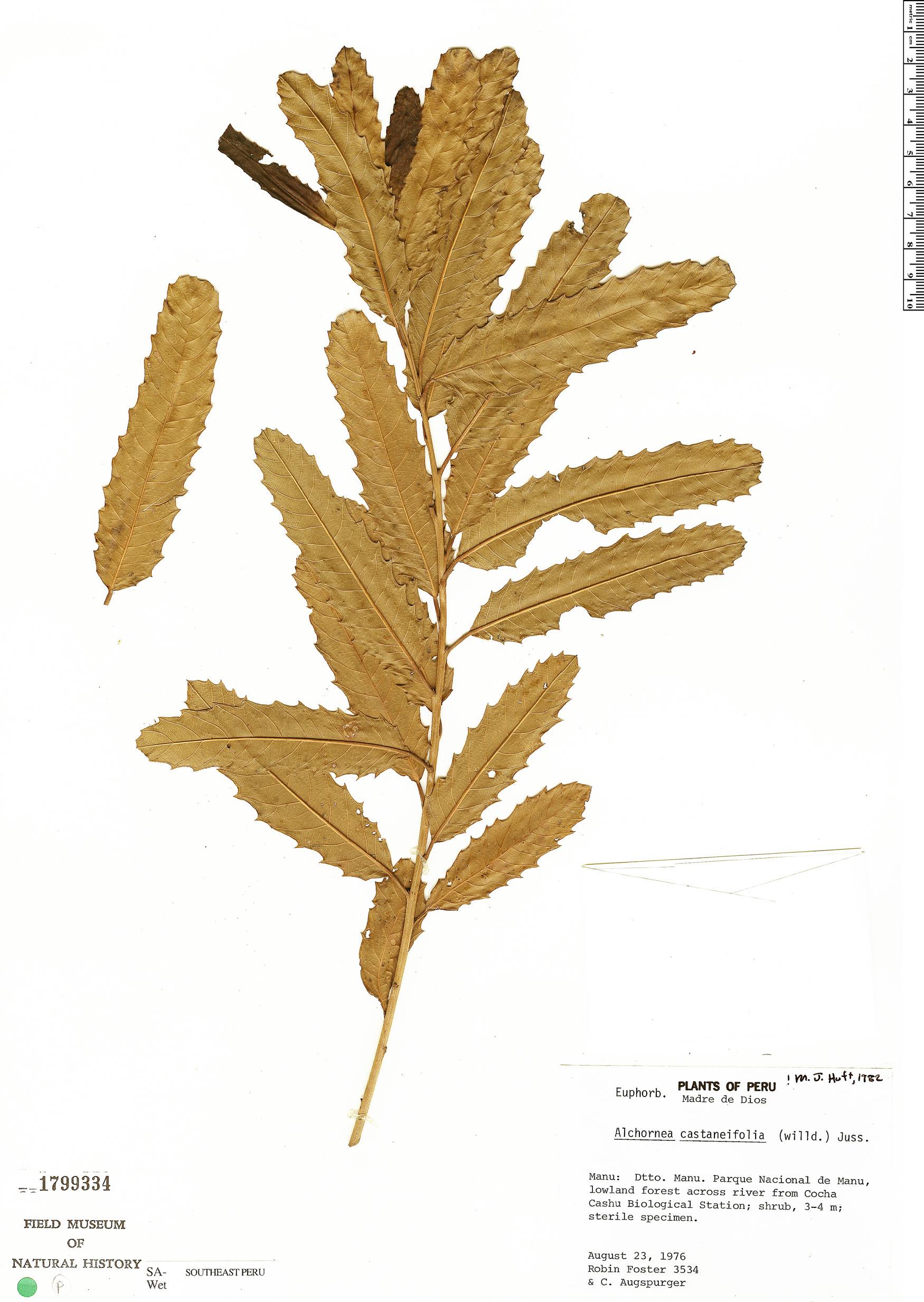 Specimen: Alchornea castaneifolia
