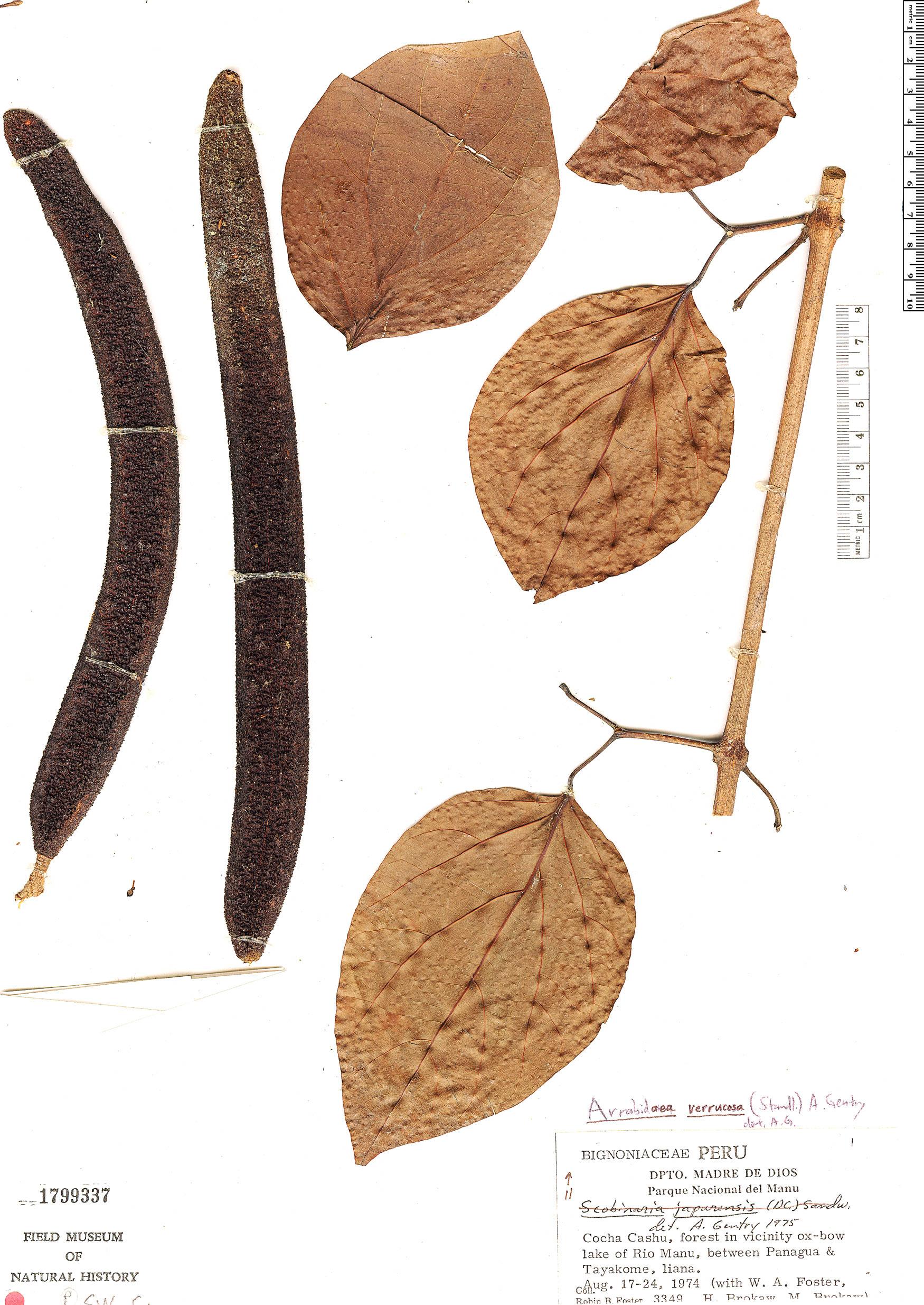 Specimen: Fridericia schumanniana