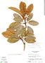 Manilkara zapota (L.) P. Royen, Guatemala, C. L. Lundell 19136, F