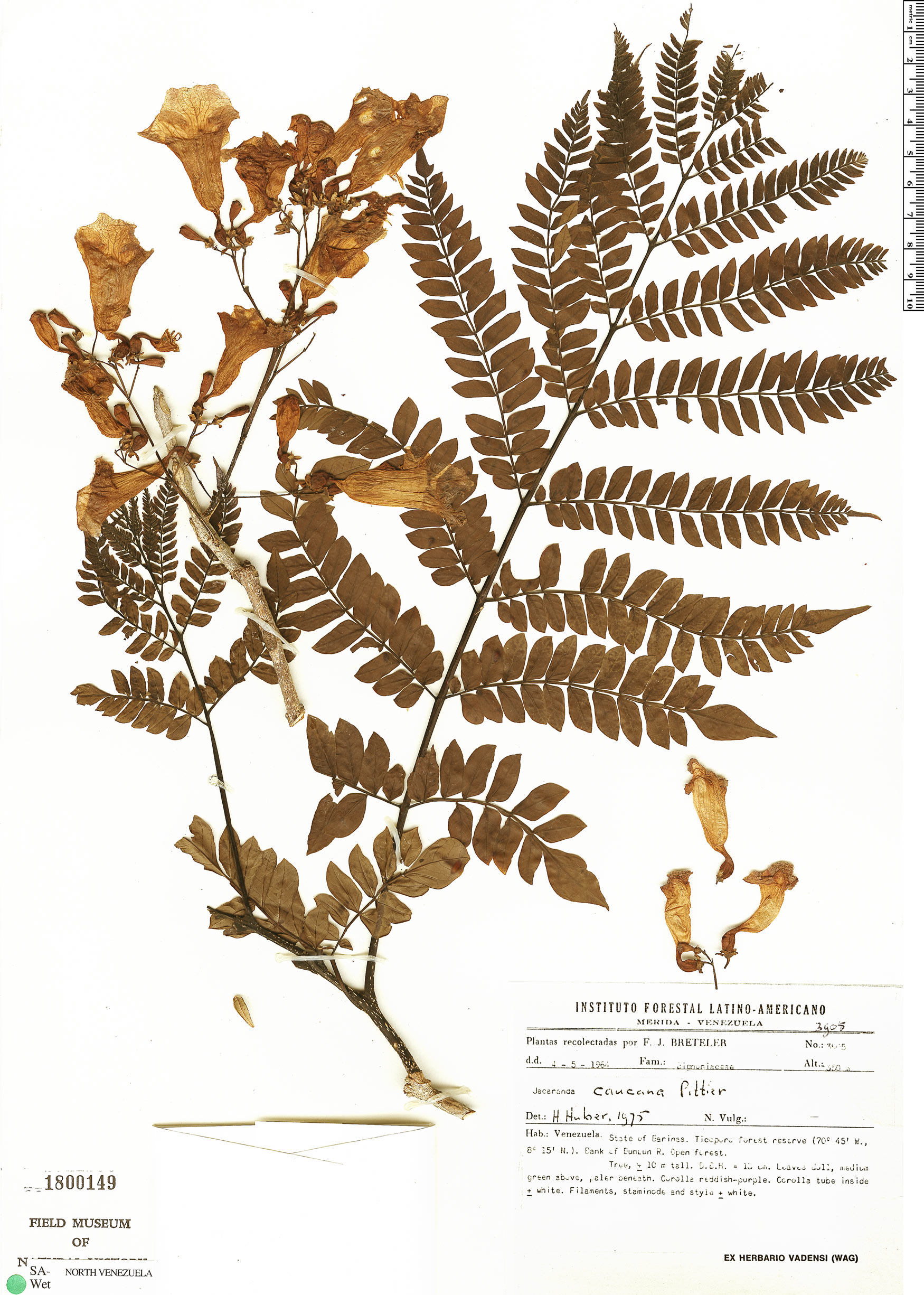 Specimen: Jacaranda caucana
