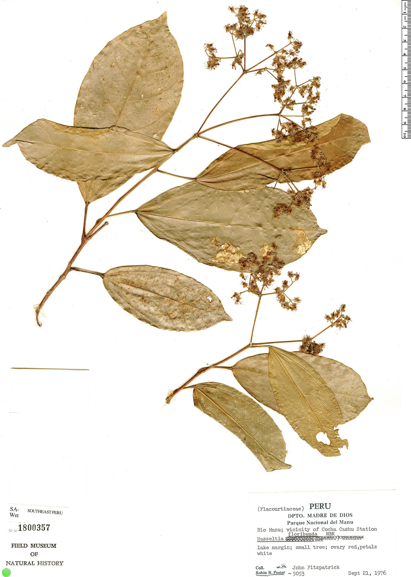 Specimen: Hasseltia floribunda