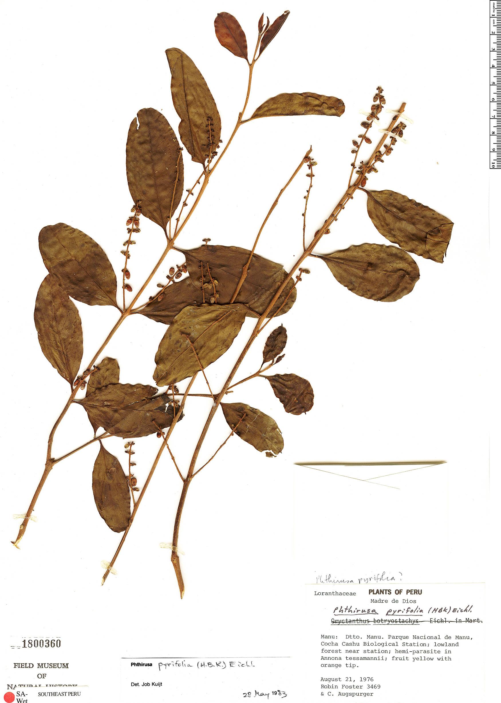 Specimen: Passovia pyrifolia