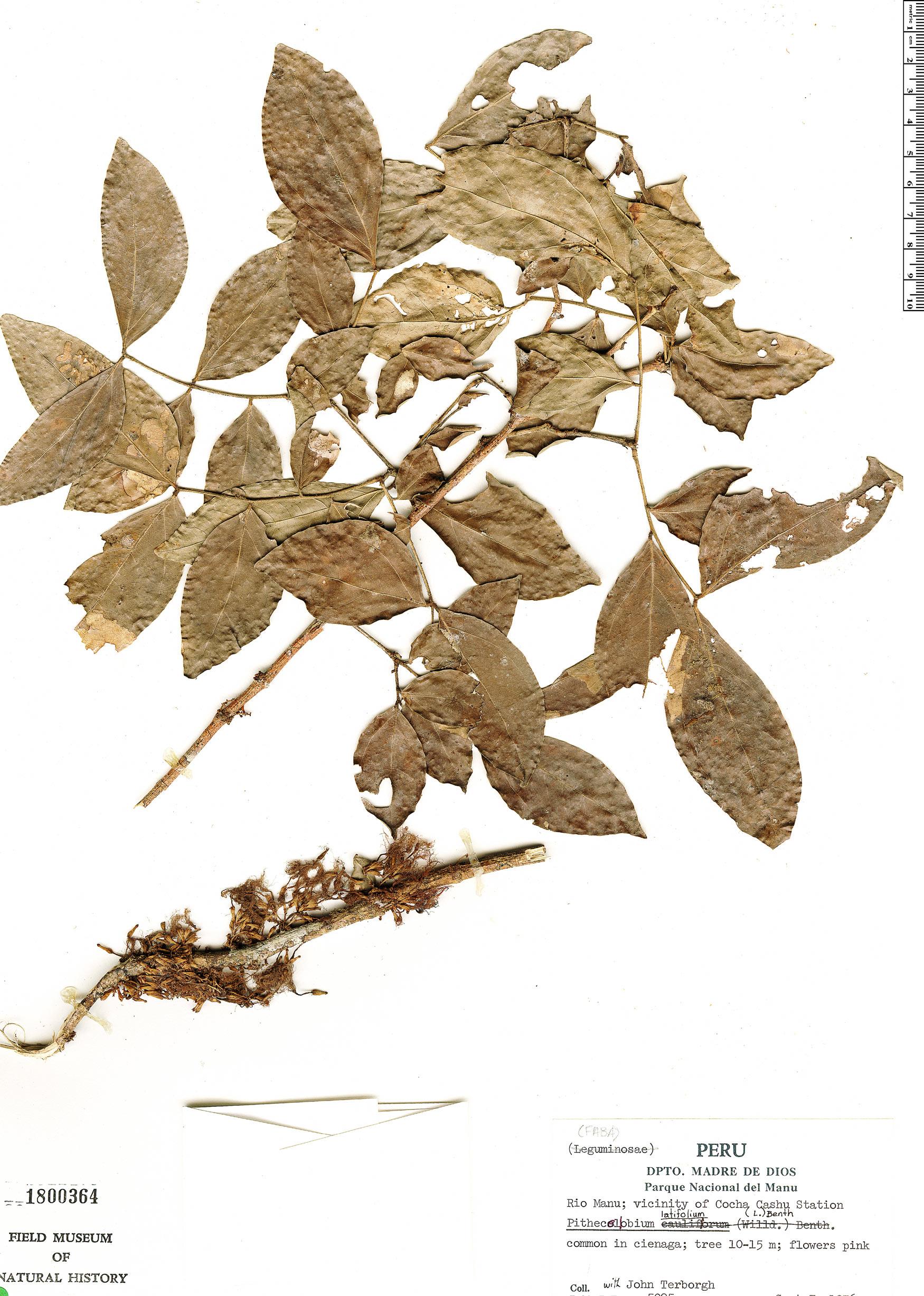 Espécimen: Zygia latifolia