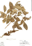 Zygia latifolia, Peru, R. B. Foster 5025, F