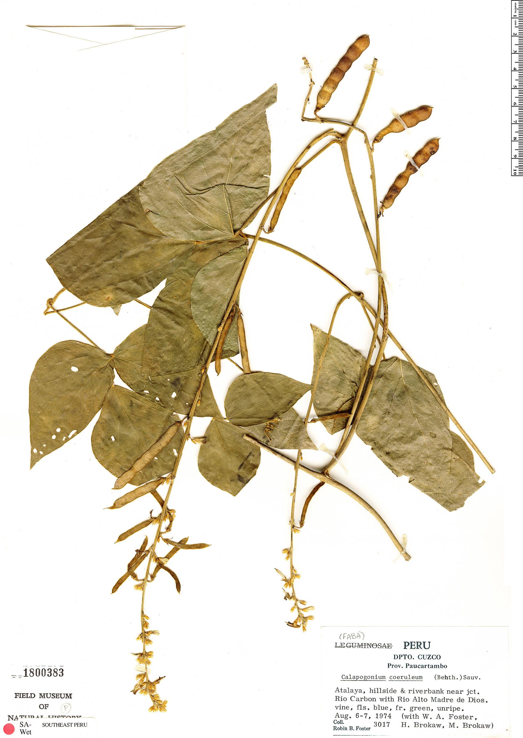 Specimen: Calopogonium caeruleum