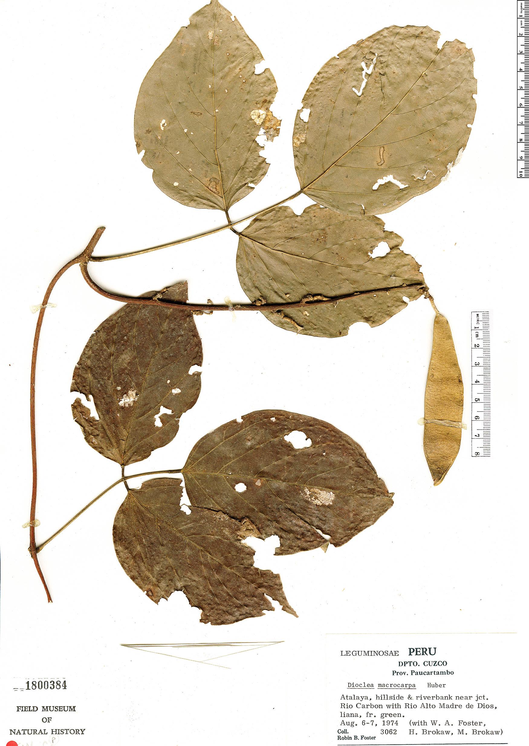 Specimen: Dioclea macrocarpa