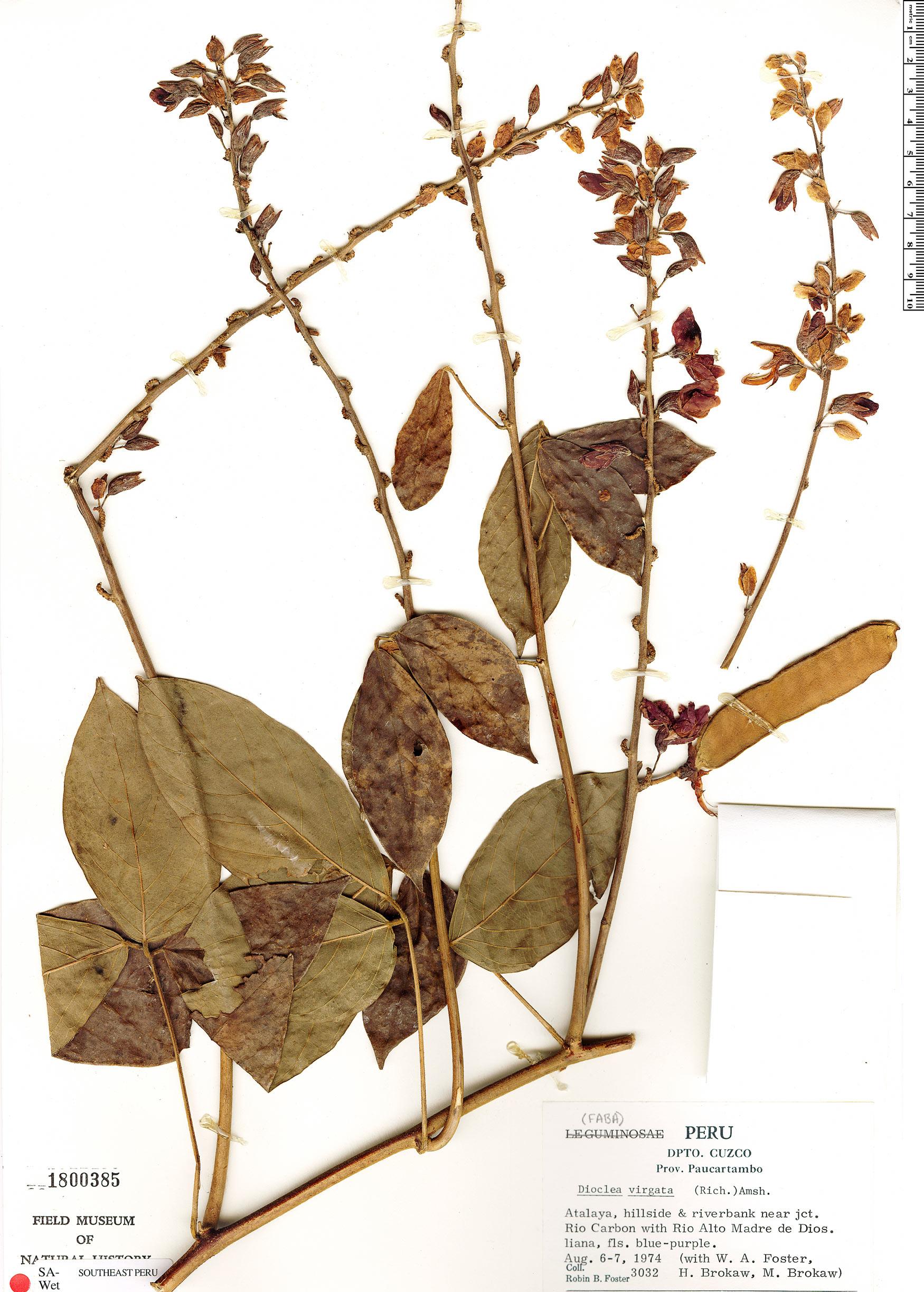 Specimen: Dioclea virgata