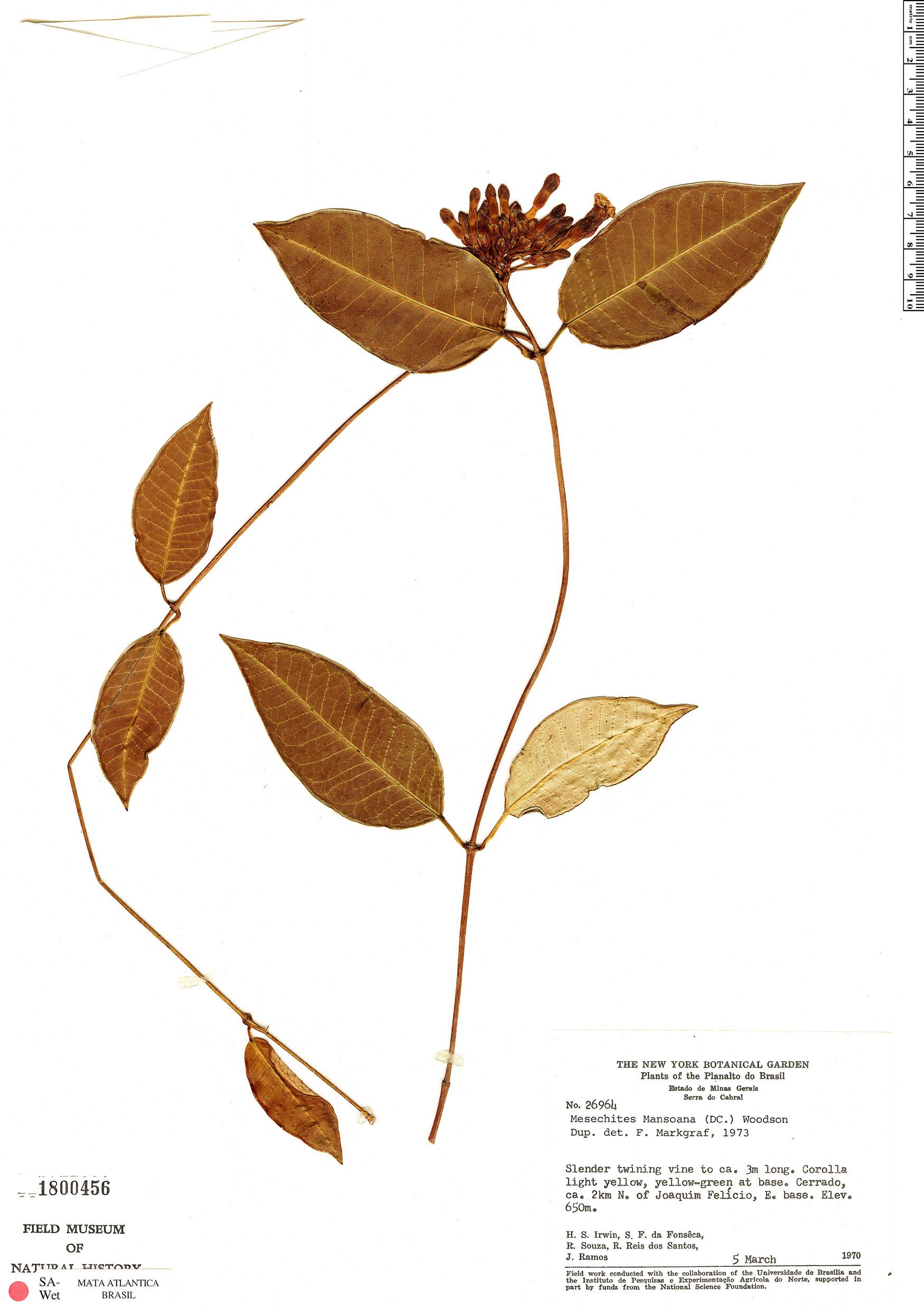 Specimen: Mesechites mansoanus