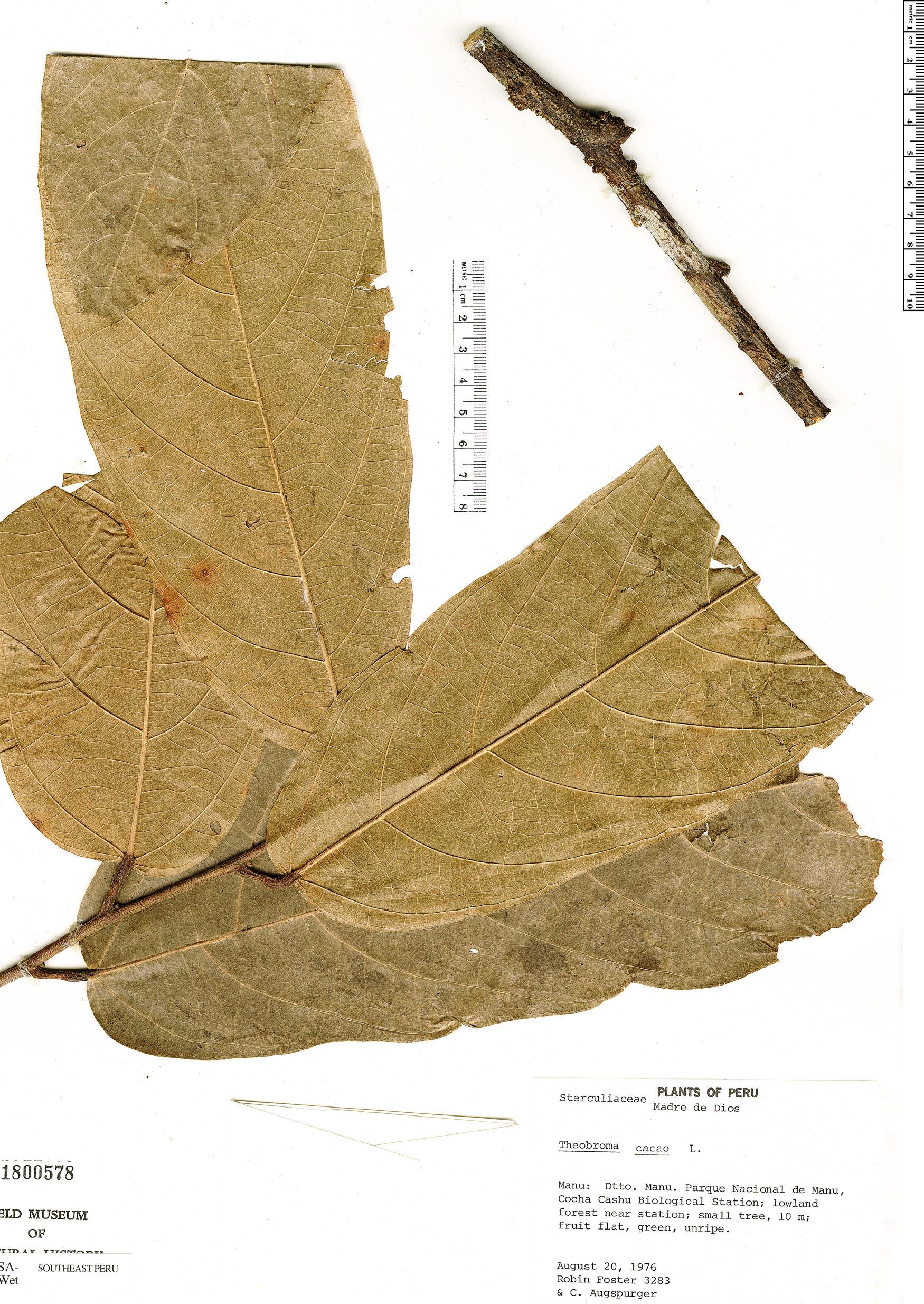 Specimen: Theobroma cacao