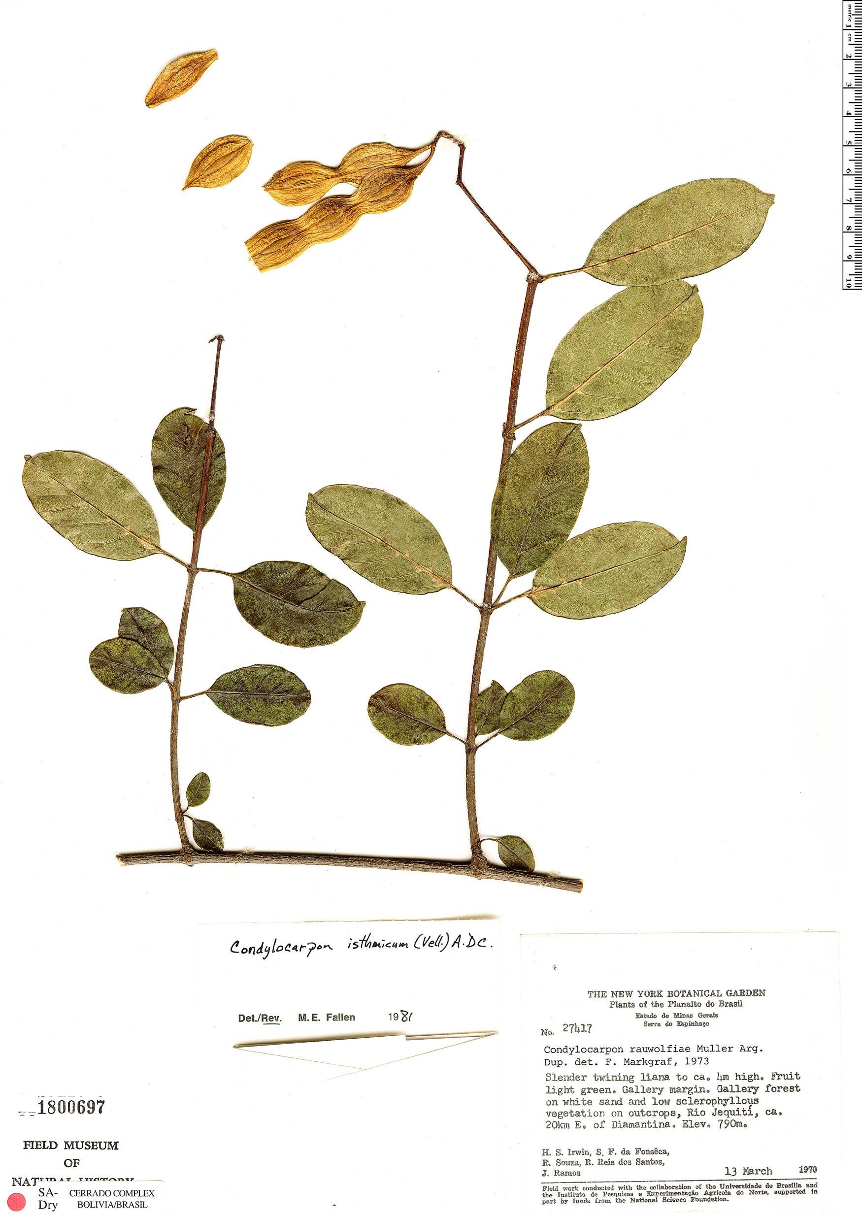 Specimen: Condylocarpon isthmicum