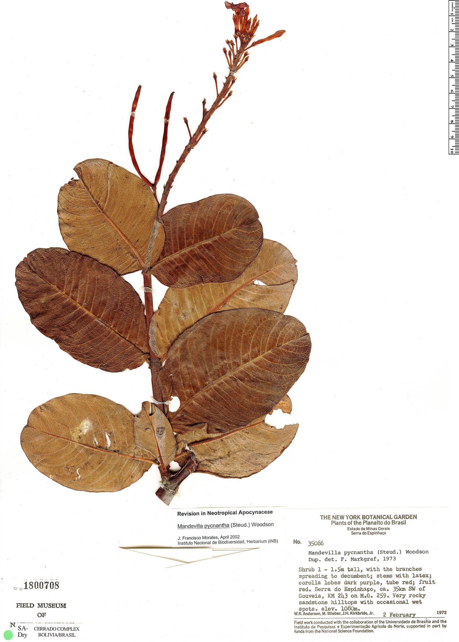 Specimen: Mandevilla pycnantha