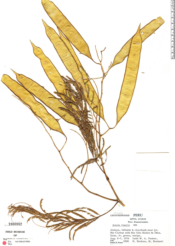 Specimen: Senegalia riparia