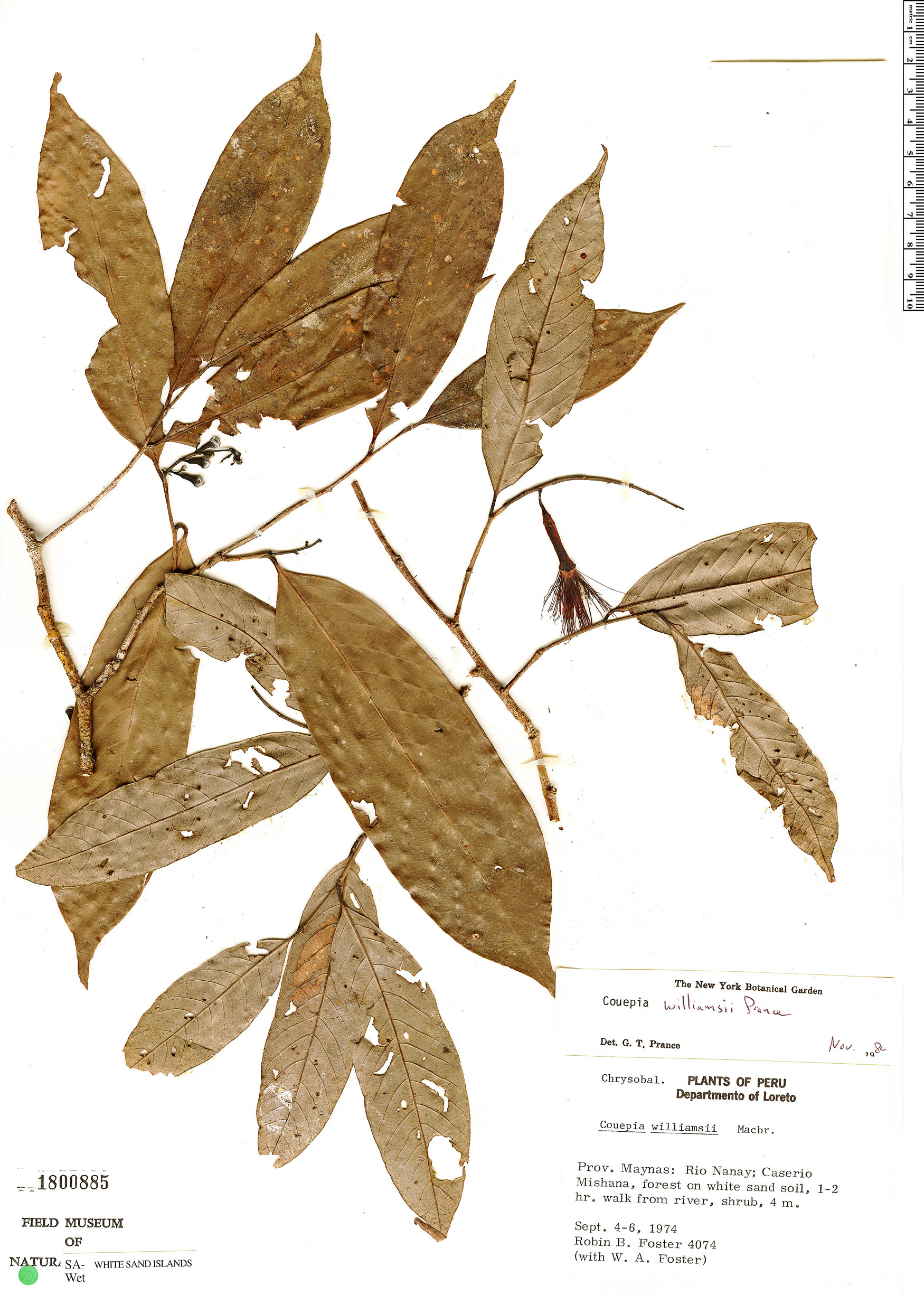 Specimen: Couepia williamsii