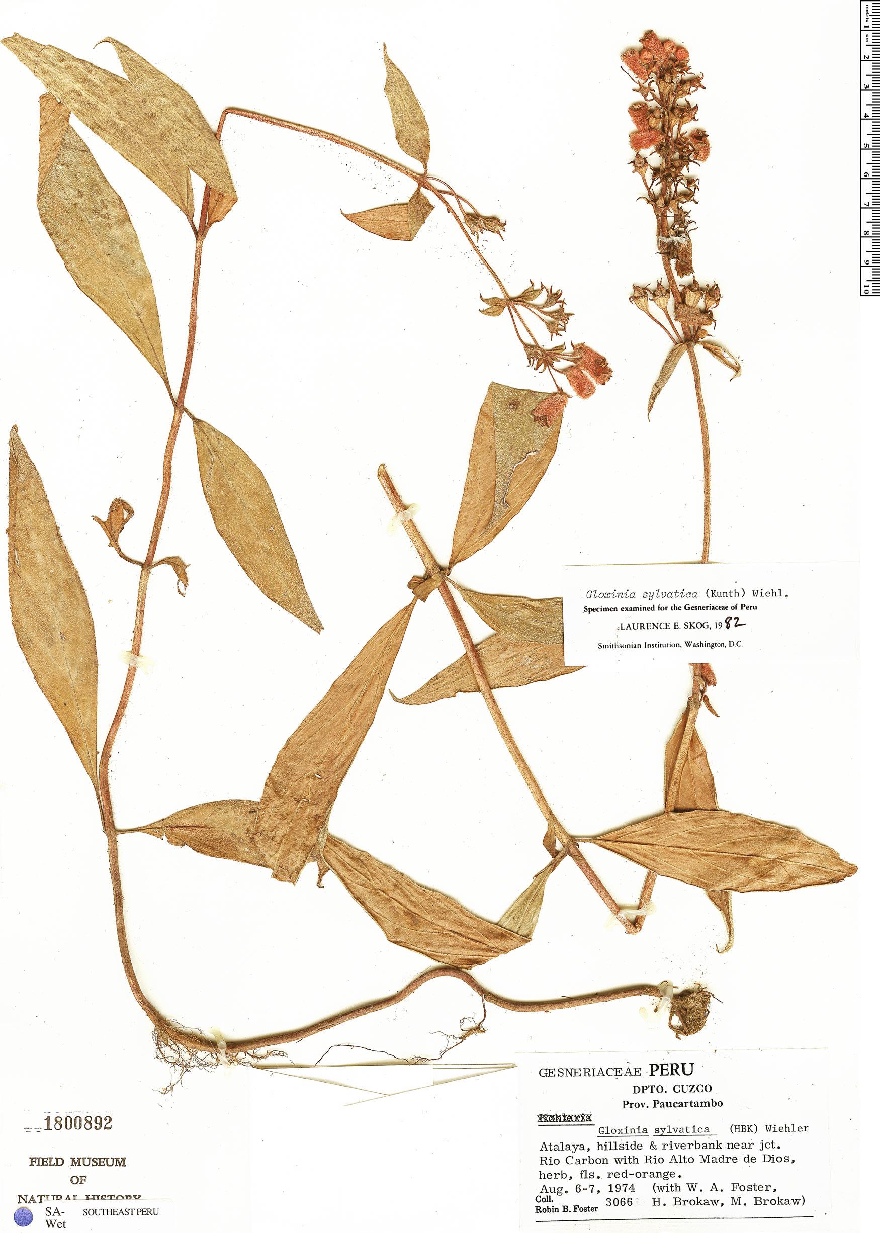 Specimen: Seemannia sylvatica