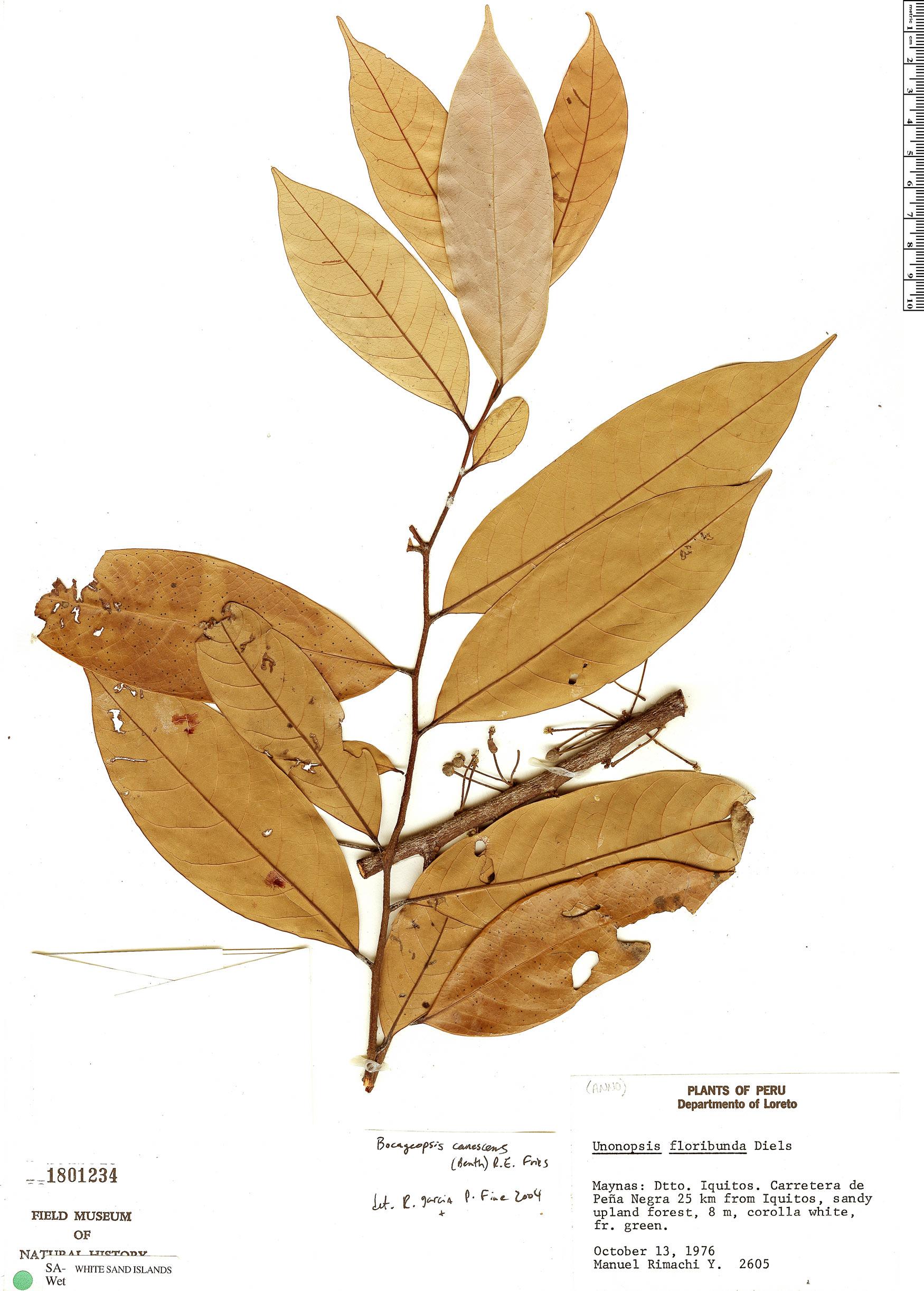 Espécimen: Bocageopsis canescens