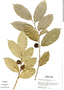 Trymatococcus amazonicus Poepp. & Endl., Peru, M. Rimachi Y. 2754, F