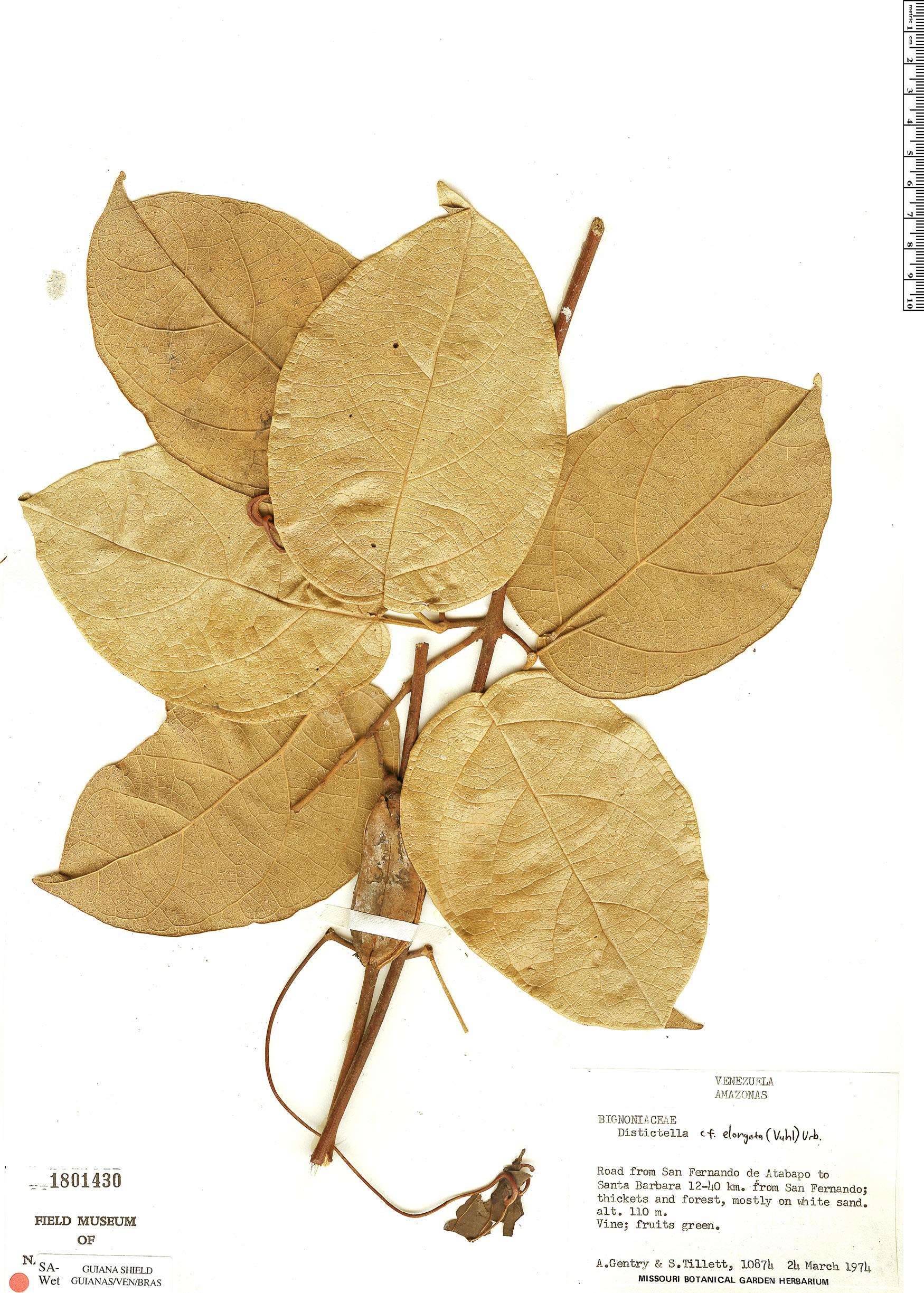Specimen: Amphilophium arenarium