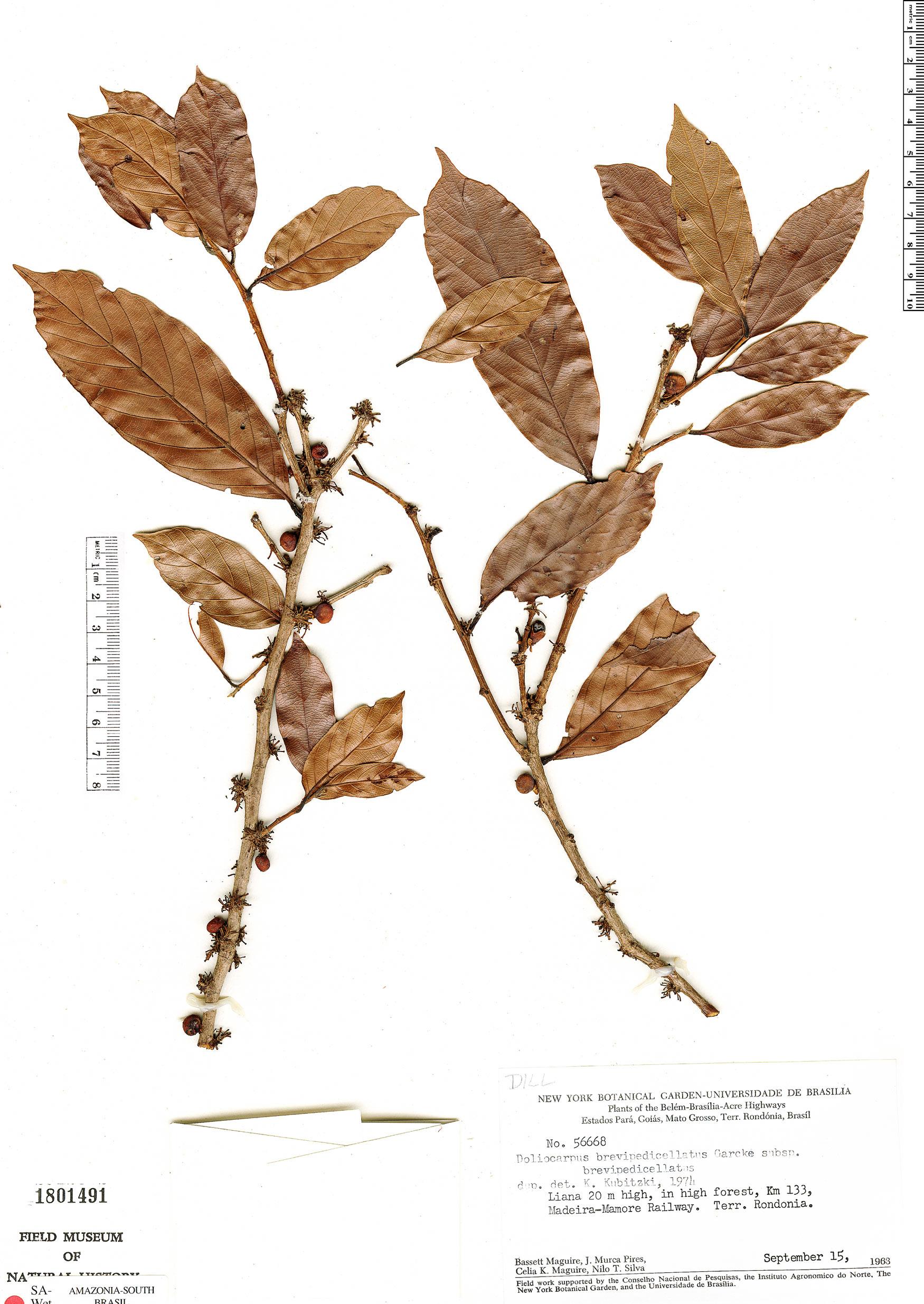 Specimen: Doliocarpus brevipedicellatus