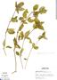 Blechum pyramidatum (Lam.) Urb., Peru, M. Rimachi Y. 517, F