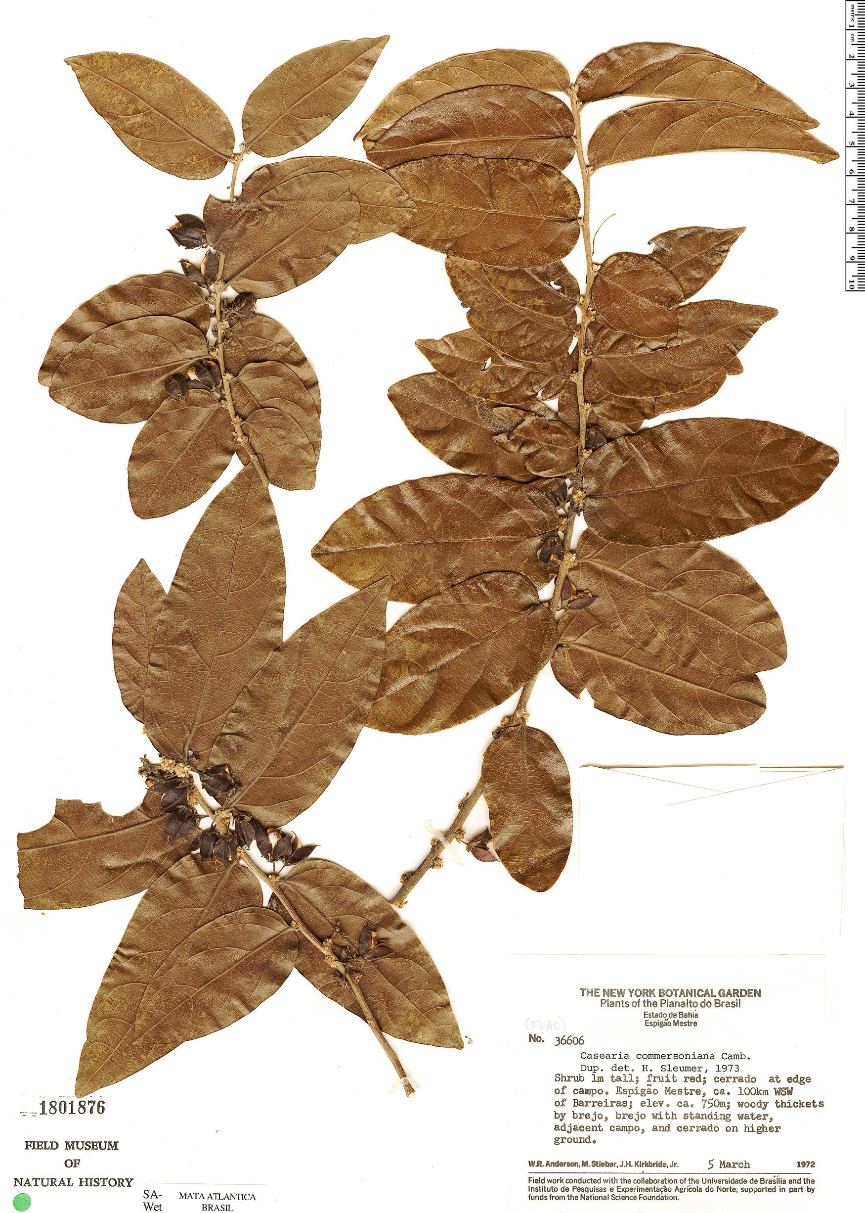 Specimen: Casearia commersoniana