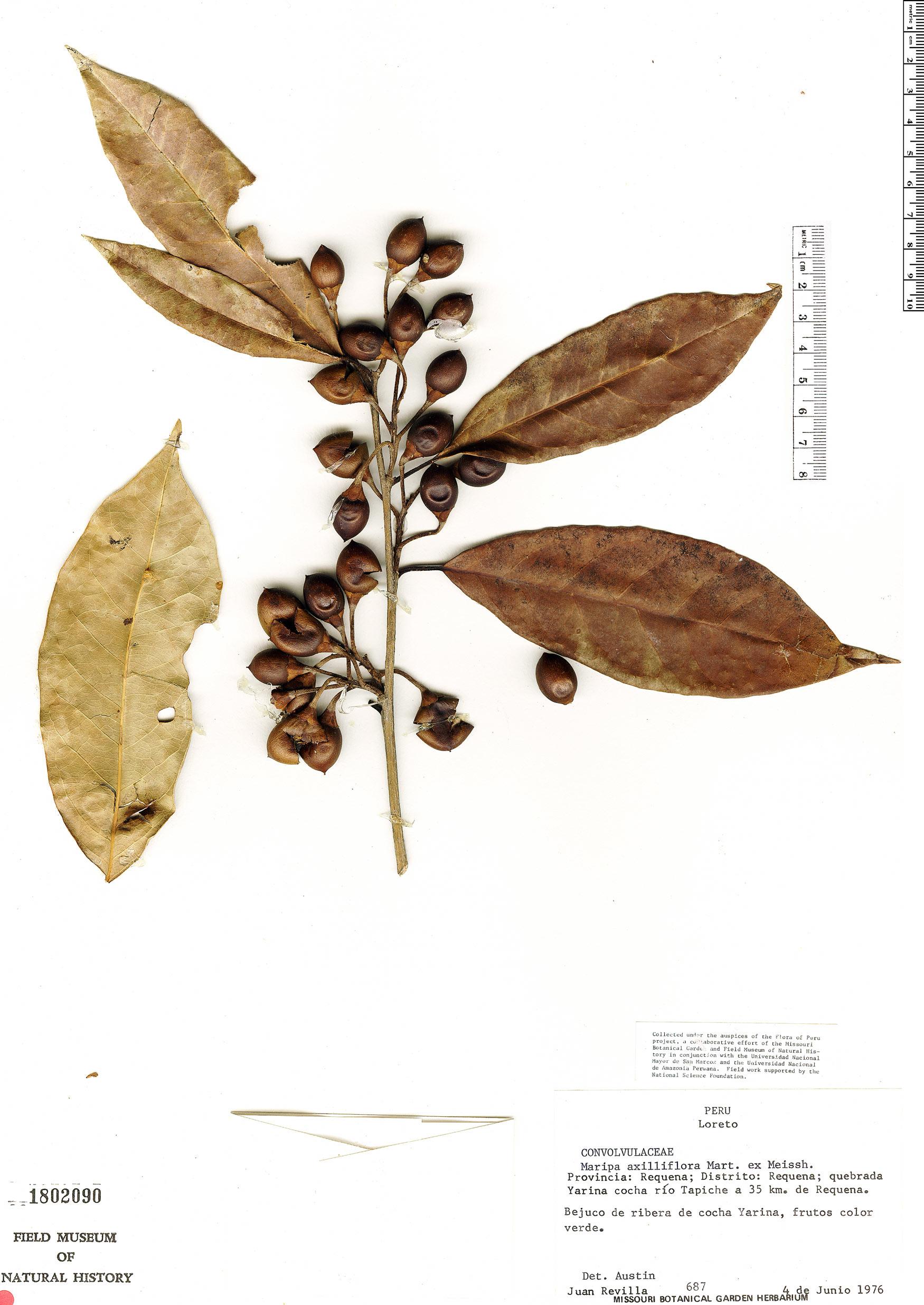 Specimen: Maripa axilliflora