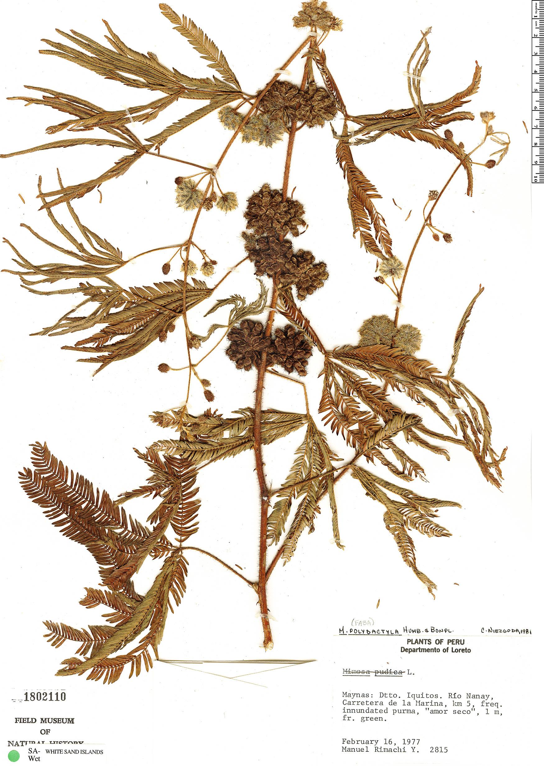 Specimen: Mimosa polydactyla