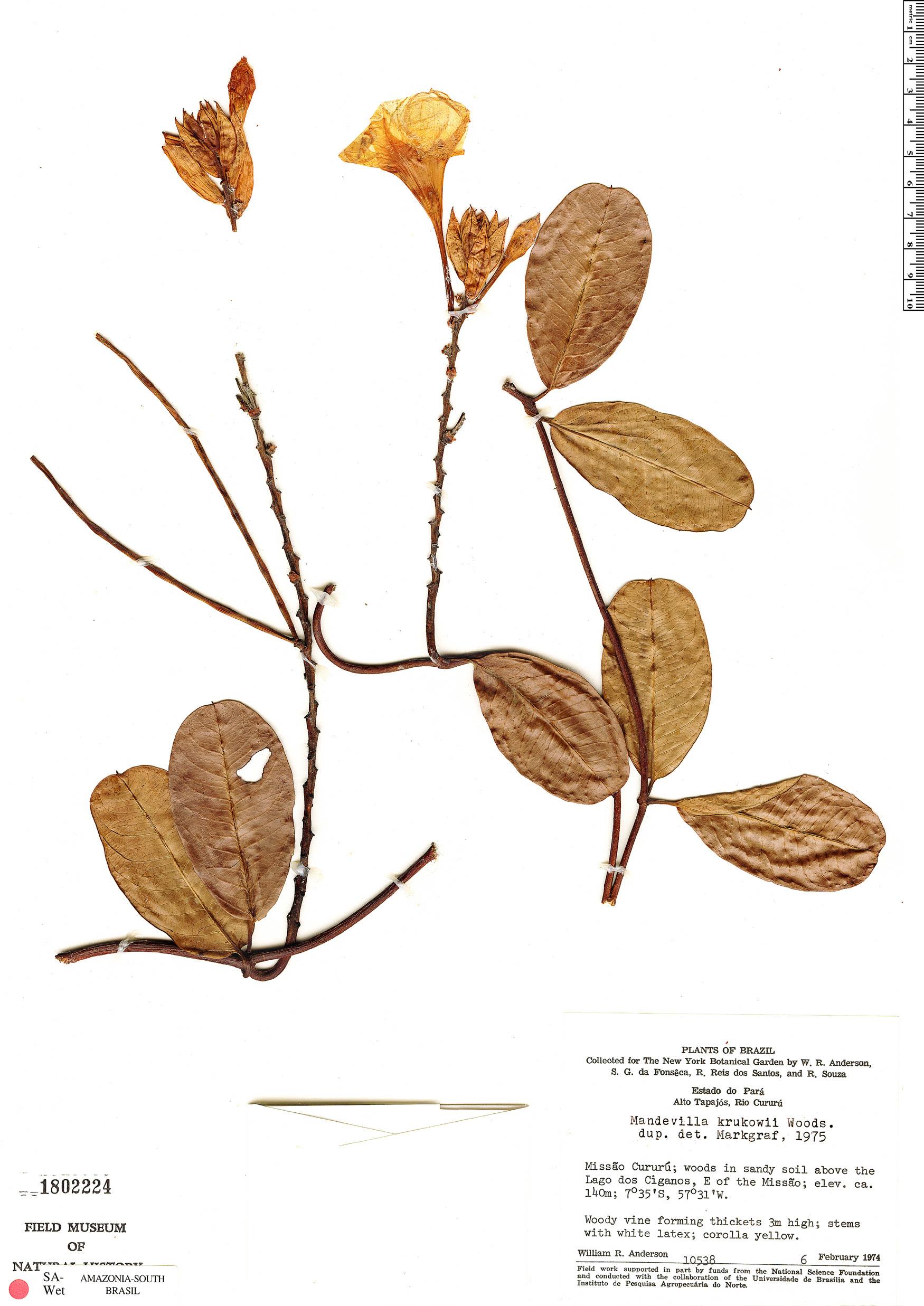 Espécimen: Mandevilla krukovii