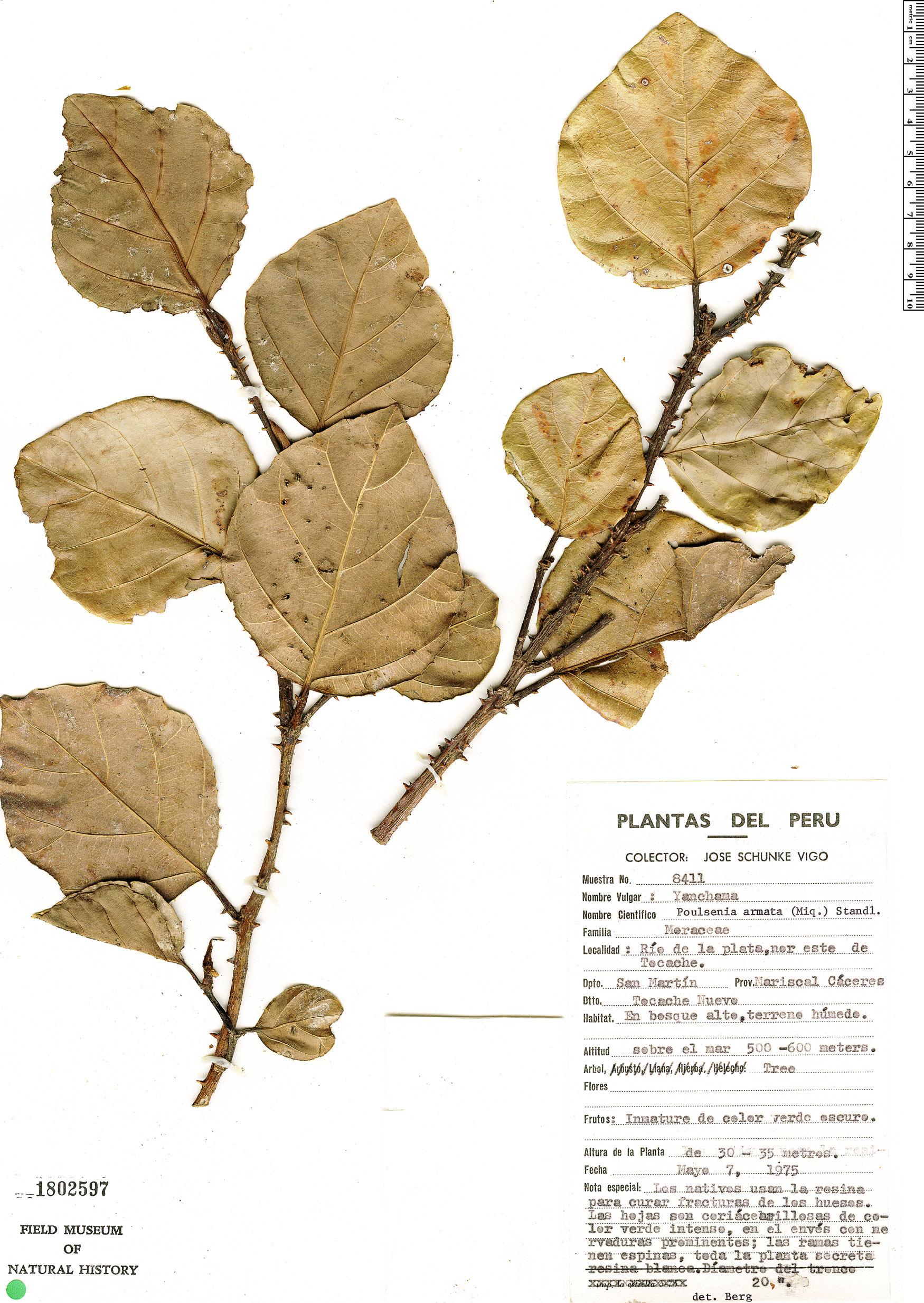 Specimen: Poulsenia armata