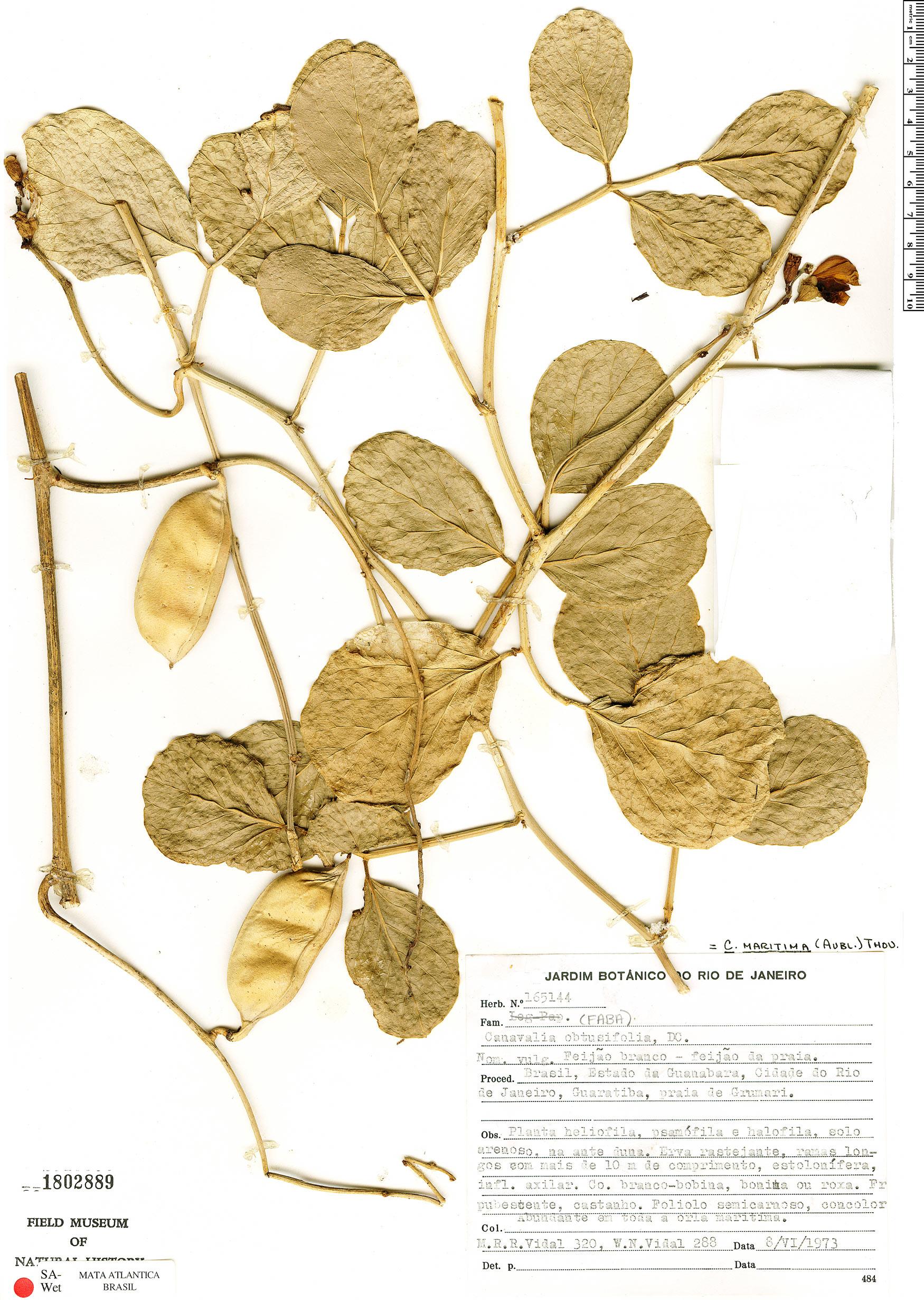 Espécime: Canavalia rosea