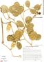 Canavalia rosea (Sw.) DC., Brazil, M. R. R. Vidal 320, F