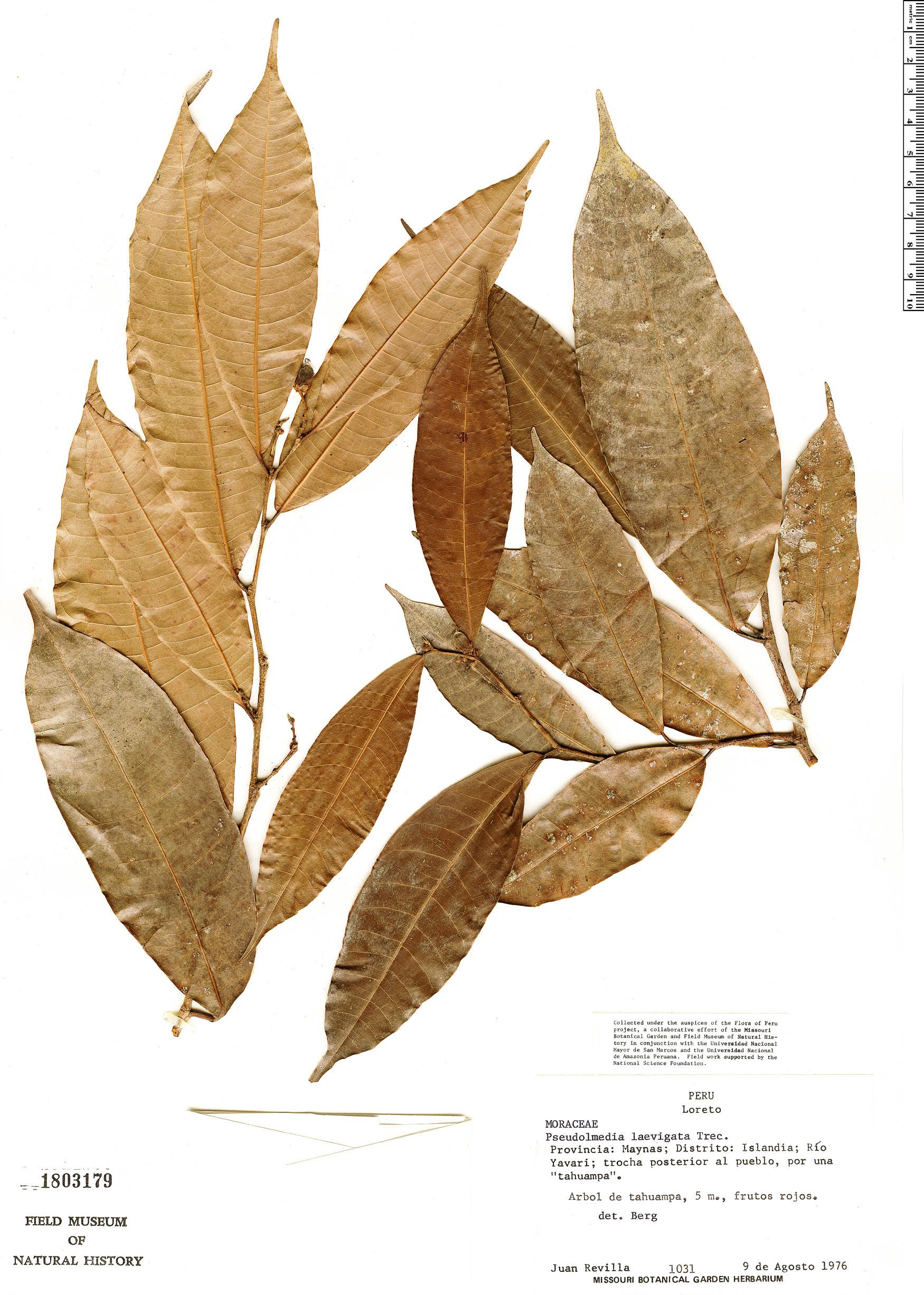 Specimen: Pseudolmedia laevigata