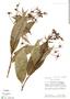 Burmeistera ceratocarpa image