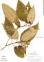 Miconia dodecandra Cogn., Venezuela, T. B. Croat 21367, F