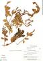 Gaultheria reticulata Kunth, Ecuador, F. Prieto P114, F