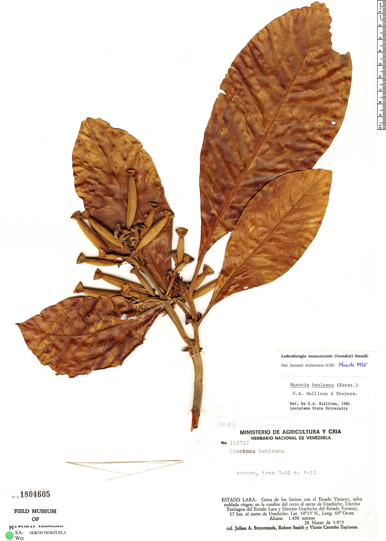 Specimen: Ladenbergia muzonensis
