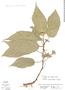 Dorstenia choconiana S. Watson, Costa Rica, R. W. Lent 3632, F