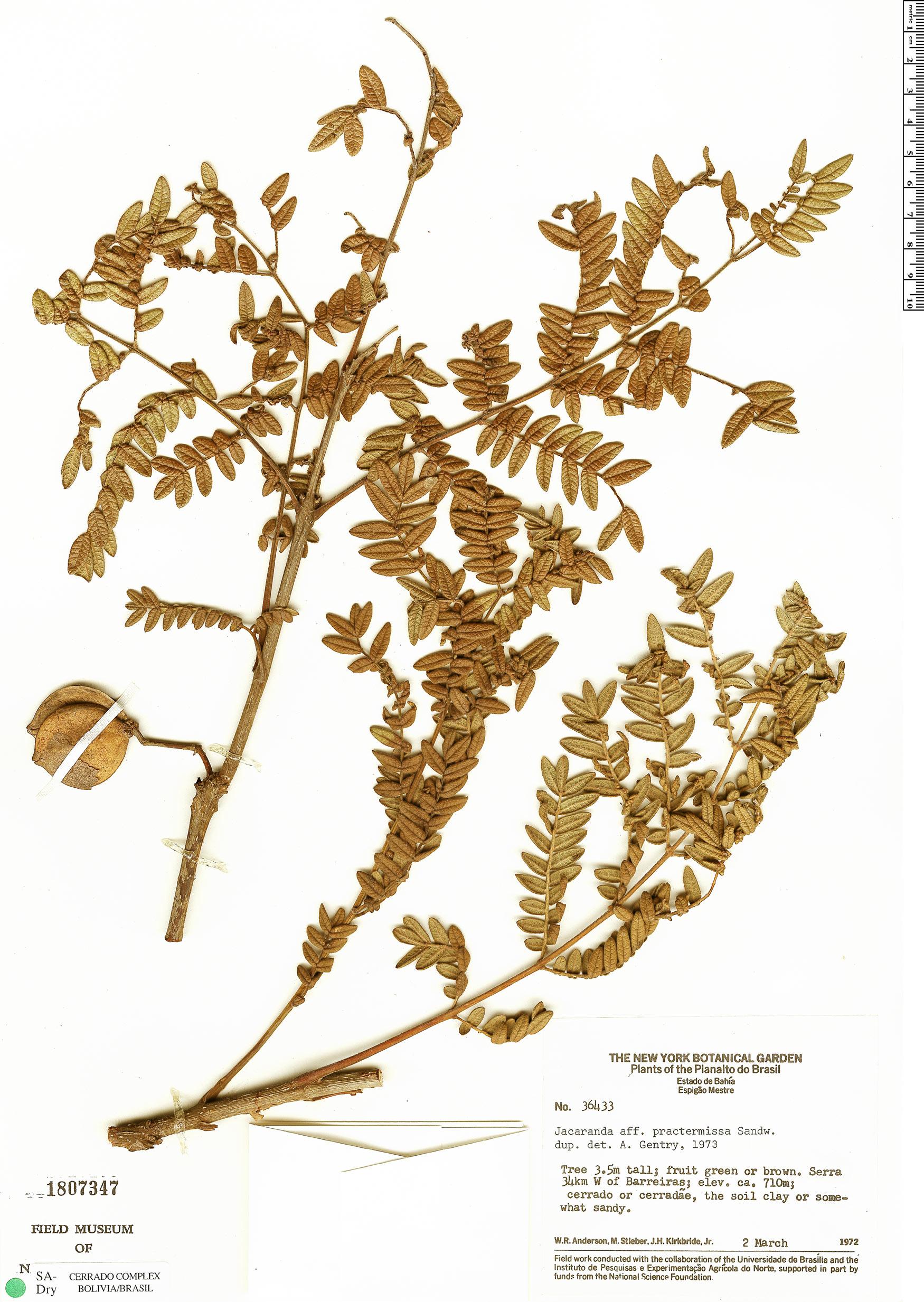 Specimen: Jacaranda praetermissa