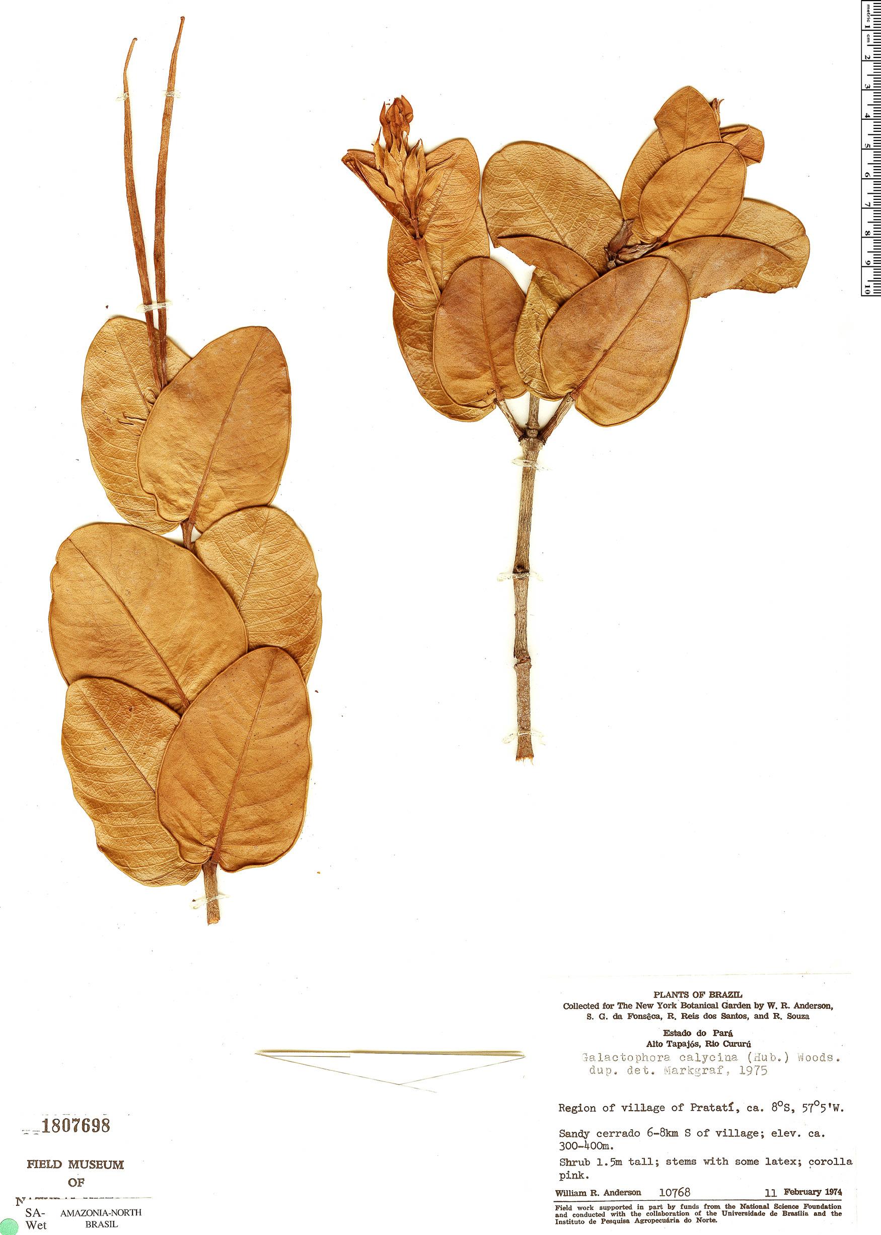 Specimen: Galactophora crassifolia