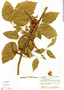 Paullinia turbacensis Kunth, Panama, P. Busey 705, F