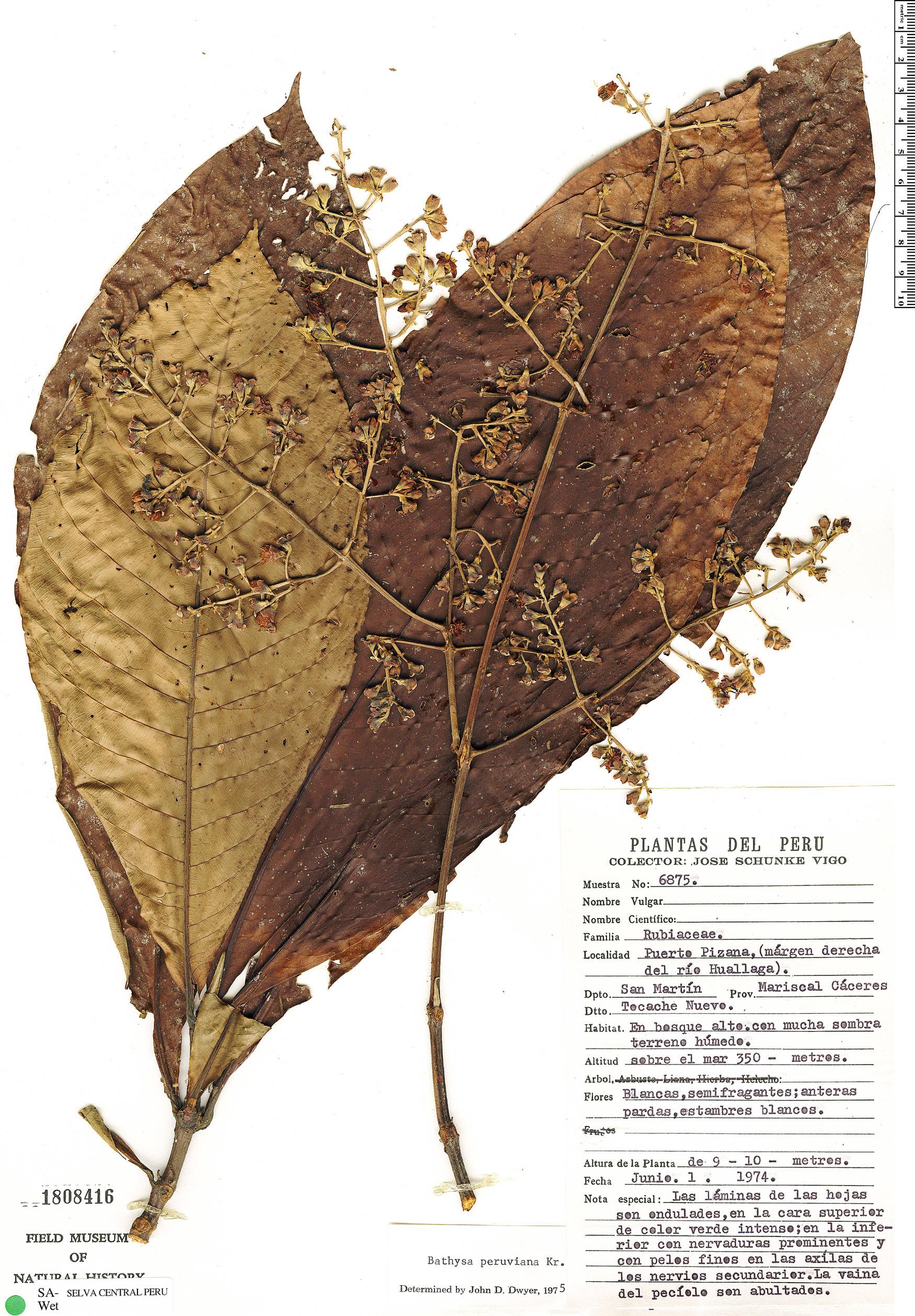 Specimen: Schizocalyx peruvianus