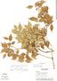 Myrcia sylvatica (G. Mey.) DC., Panama, A. H. Gentry 5544, F